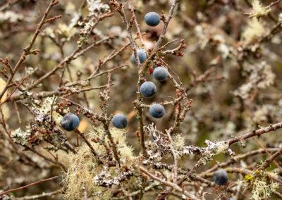 Sloe / Blackthorn (Prunus spinosa)