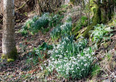 Snowdrop (Galanthus nivalis)