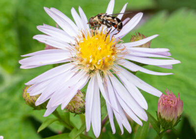 Hoverfly Syritta pipiens ♀