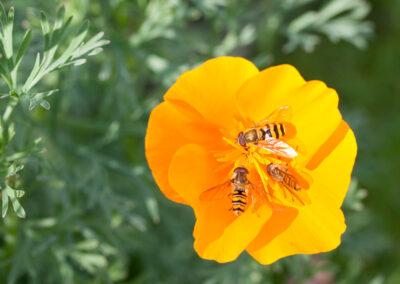 Hoverflies Syrphus sp. & Episyrphus balteatus on California Poppy