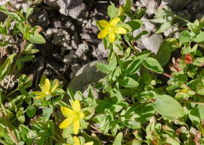 Trailing St John's-wort (Hypericum humifusum)
