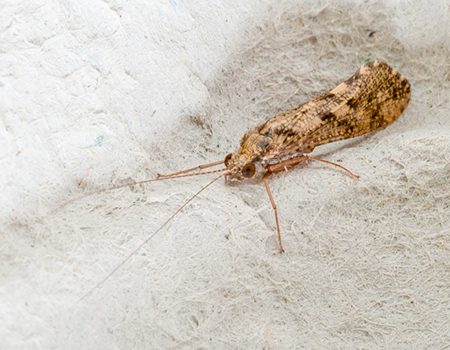 link to Caddisflies page