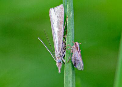 planthopper & Agriphila tristella moth