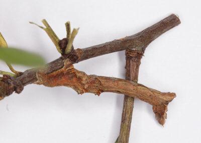 Early Thorn (Selenia dentaria) moth