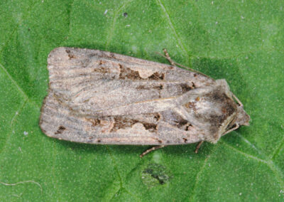 Setaceous Hebrew Character (Xestia c-nigrum) moth