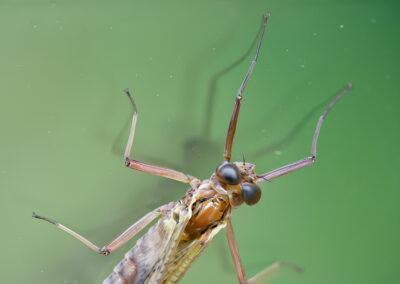 Mayfly close-up