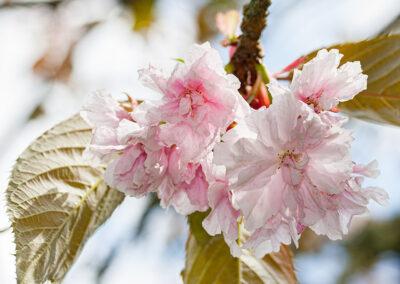 Prunus (Ornamental Cherry)