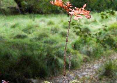 Sorbus aucuparia (Rowan) growing in fence post
