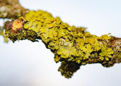 Xanthoria perietina