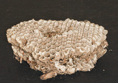 part of the inside of a large wasp nest, found in a Sitka Spruce tree