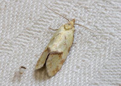 Agapeta hamana moth