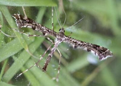 Amblyptilia puntidactyla moth