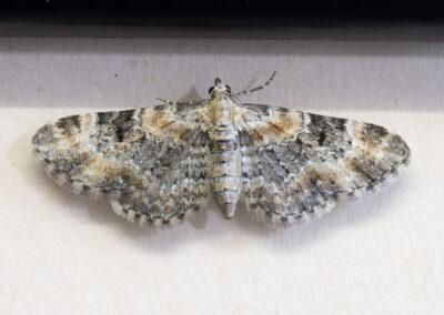 Foxglove Pug (Eupithecia pulchellata) moth