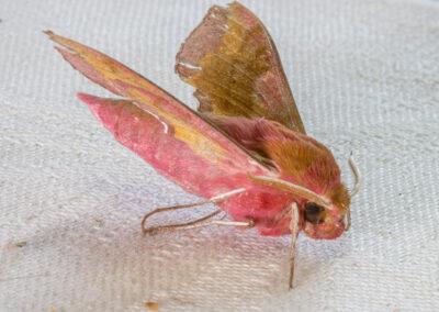 Small Elephant Hawk-moth (Deilephila porcellus)