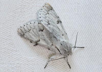 Miller (Acronicta leporina) moth