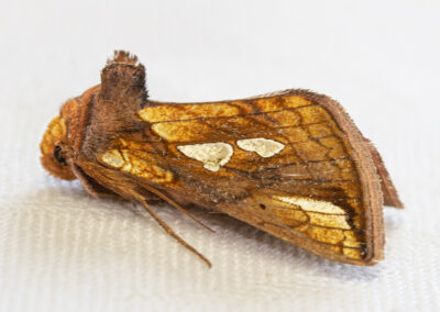 Gold Spot (Plusia festucae) moth