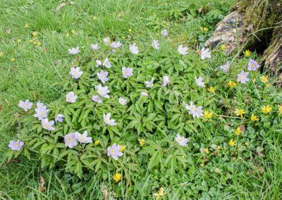 Anemone nemorosa (Wood Anemone) 'Bowles's Purple'