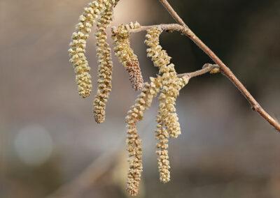 Corylus avellana (Hazel) flowers (catkins)