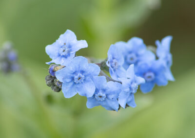 Cynoglossum amabile (Chinese Forget-Me-Not)