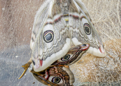 Emperor Moth (Saturnia pavonia) ♂ and ♀