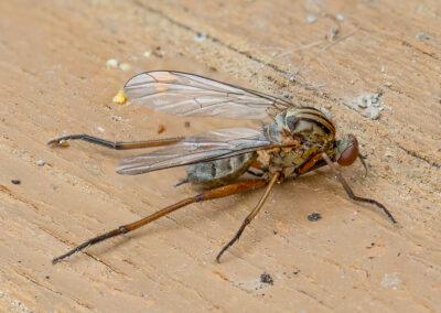 Empis livida, a species of dance fly