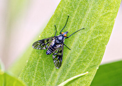 Ibisia marginata (Black-legged Water-snipefly)
