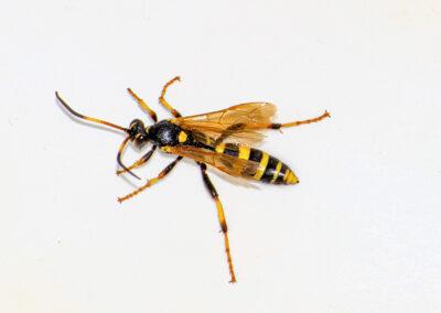 Ichneumon xanthorius wasp