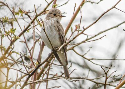Muscicapa striata (Spotted Flycatcher)