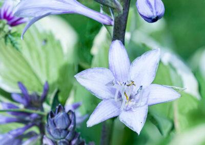Triteleia laxa (Grassnut)
