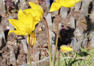 Tulipa sylvestris (Wild Tulip)