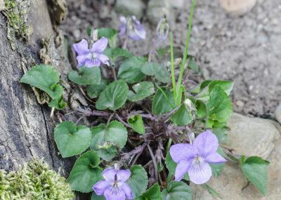 Viola rivinianna (Common Dog Violet)